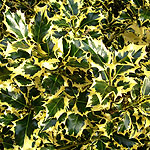 Ilex aquifolium - Golden Queen - Golden Holly - 3rd Image