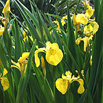 Iris pseudacorus - Yellow Water Flag