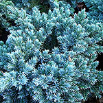 Juniperus squamata - Blue Star - Juniper - 2nd Image