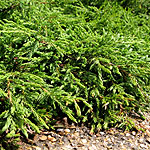 Juniperus communis - Repanda - 2nd Image