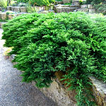 Juniperus scopulorum - Prostrata - Rocky Mountain Juniper