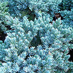 Juniperus squamata - Blue Star - Juniper