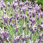 Lavandula stoaechas - Marshwood - French Lavender - 2nd Image