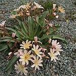 Lewisia - Little Peach - Bitterroot, Lewisia - 2nd Image