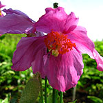 Meconopsis betonicifolia - Blue Poppy - 2nd Image