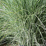 Miscanthus  sinensis - Morning Light - Elepahnt grass, Miscanthus - 3rd Image