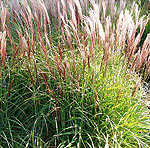 Miscanthus sinensis - Gaa - Elephant grass, Miscanthus - 2nd Image