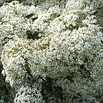 Olearia cheesemanii - Daisy Bush
