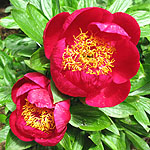 Paeonia - Defender - 2nd Image