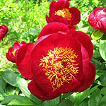 Paeonia - Defender - 3rd Image