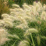 Pennisetum alopecuroides - Fountain grass, Pennisetum - 2nd Image