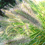 Pennisetum alopecuroides - Woodside - Fountain grass - 3rd Image