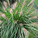 Pennisetum alopecuroides - Woodside - Fountain grass