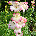 Penstemon - Osprey - Beard Tongue