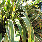 Phormium cookianum - Tricolor - New Zealand Flax - 2nd Image