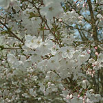 Prunus incisa - The Bride - Fuji Cherry