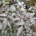 Sambucus nigra - Black Beauty - Purple Elder - 2nd Image