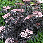 Sambucus nigra - Eva - Purple leaved elder - 3rd Image