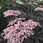 Sambucus nigra - Eva - Purple leaved elder