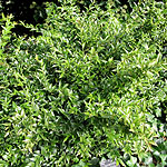 Sarcococca ruscrifolia - Chinensis - Sweet Box, Sarcocca - 2nd Image