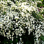 Spiraea - Arguta - Bridal Wreath, Spiraea - 2nd Image