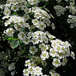 Spiraea nipponica - Snowmound - Bridal wreath, Spiraea - 2nd Image