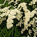 Spiraea nipponica - Snowmound - Bridal wreath, Spiraea