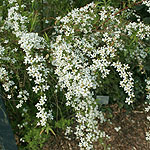 Spiraea thunbergii - Bridal wreath, Spiraea