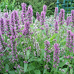 Stachys officinalis - Common Betony