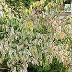 Stachyurus chinensis - Joy Forever - Variegated Stachyrus