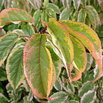 Stachyurus chinensis - Joy Forever - Variegated Stachyrus - 2nd Image