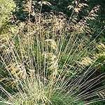 Stipa gigantea - Spanish Oat grass, Stipa