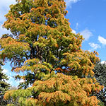Taxodium ascendens - Nutans - Bald Cypress, Taxodium