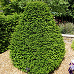 Taxus baccata - Yew