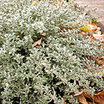 Thymus citriodorus - Silver Queen - Thyme - 2nd Image