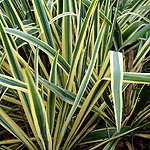 Yucca filamentosa - Bright Edge - Adams needle