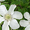 Clematis - John Huxable