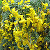 Cytisus scoparius - maritimus - Maritime Broom