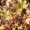 Heuchera - Ginger Ale