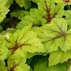 Heuchera - Stop Light