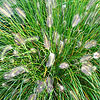 Pennisetum alopecuroides - Woodside - Fountain grass - 2nd Image