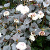 Physocarpus opulifolius - Diabolo - Purple Nine Bark