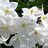 Solanum jasminoides - Album - Potato Vine - 2nd Image