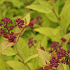 Spiraea japonica - Magic Carpet - Spiraea - 2nd Image