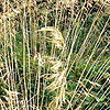 Stipa gigantea - Spanish Oat grass, Stipa - 2nd Image
