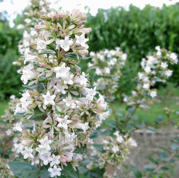 Plant pictures: abelia chinensis (abelia)