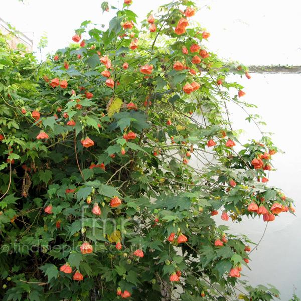Plant Pictures Abutilon Pictum Abutilon Flowering Maple