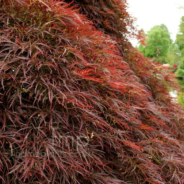 Plant Pictures Acer Palmatum Dissectum Atropurpureum Japanese