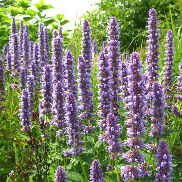 plant pictures agastache 39 blue fortune 39 giant hyssop secondary image. Black Bedroom Furniture Sets. Home Design Ideas