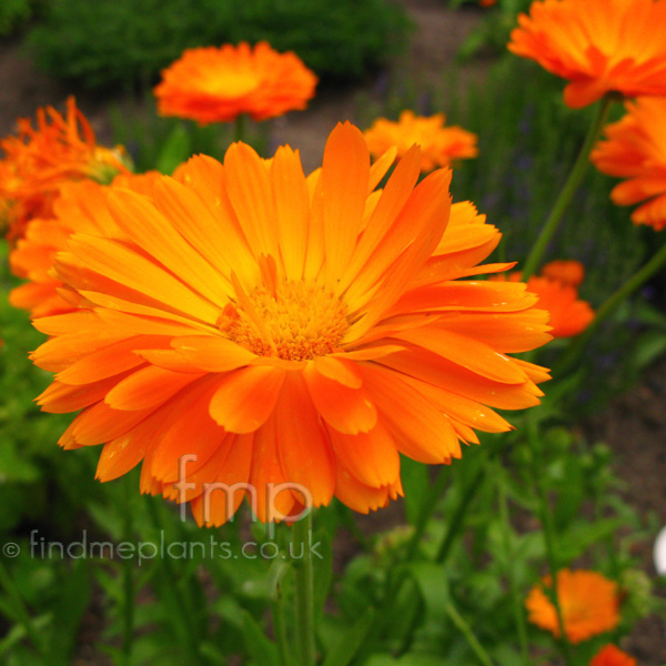 plant pictures calendula officinalis english marigold. Black Bedroom Furniture Sets. Home Design Ideas